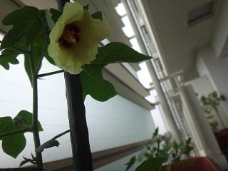 2020/07/25の初の和棉の花