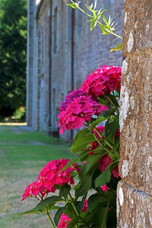 リュセルヌ・ドゥトゥルメール修道院 アジサイの濃いピンク
