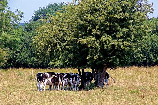木の下に集まる牛たち