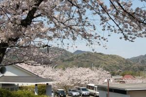道の駅の桜1