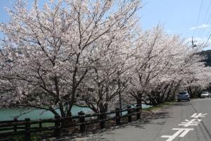 道の駅の桜3