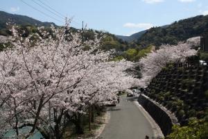 道の駅の桜2