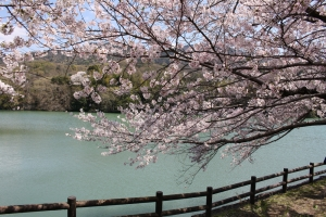 道の駅の桜5