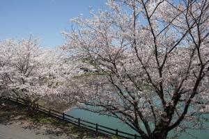 道の駅の桜6