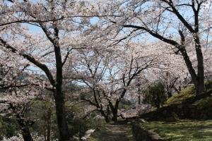 道の駅の桜7
