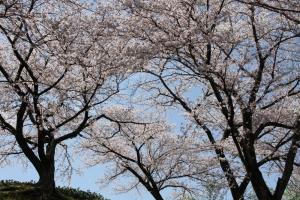道の駅の桜8