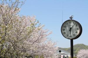 道の駅の桜9