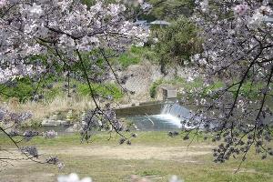 財田川の桜1