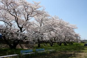 財田川の桜2