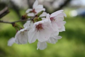 財田川の桜4