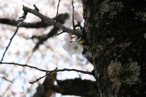 財田川の桜5