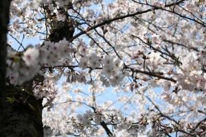 財田川の桜6