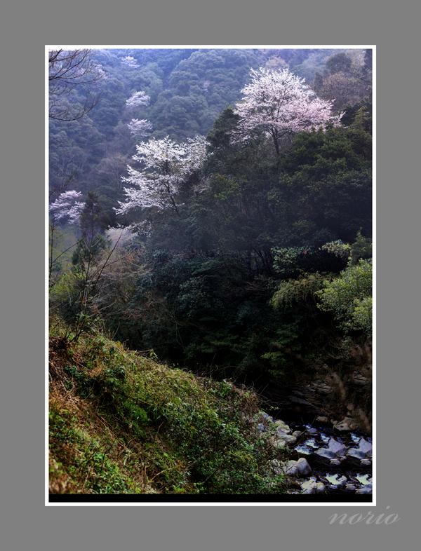 渓谷と山桜