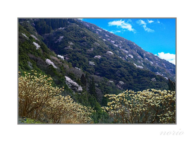 板谷の山桜