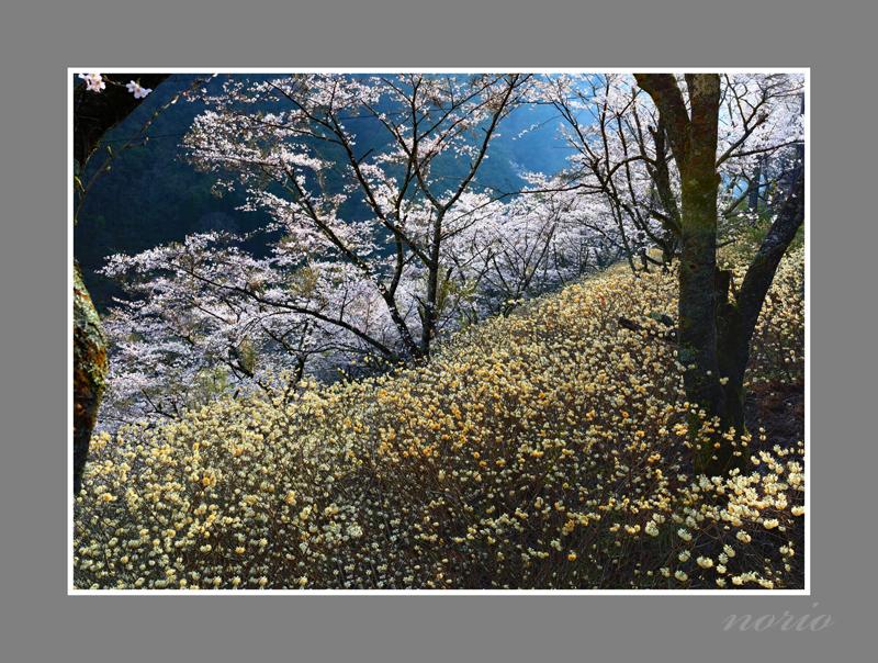 光雄桜1-1