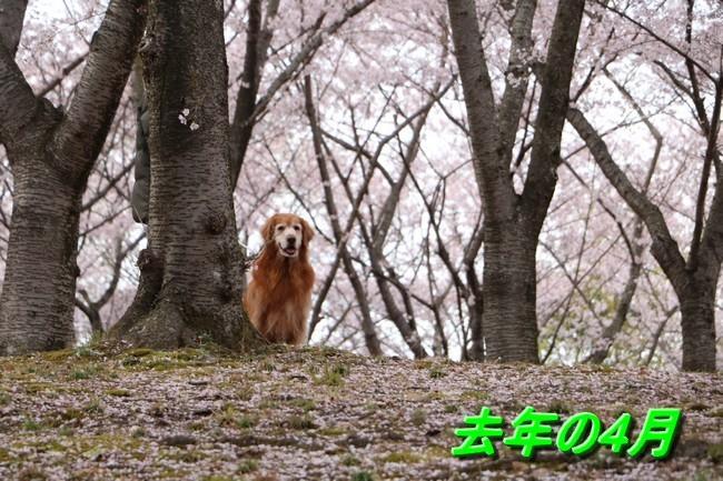 播磨中央公園の桜 233