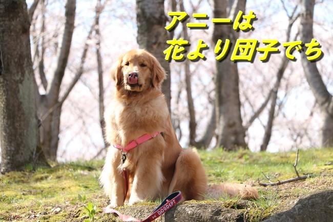 播磨中央桜