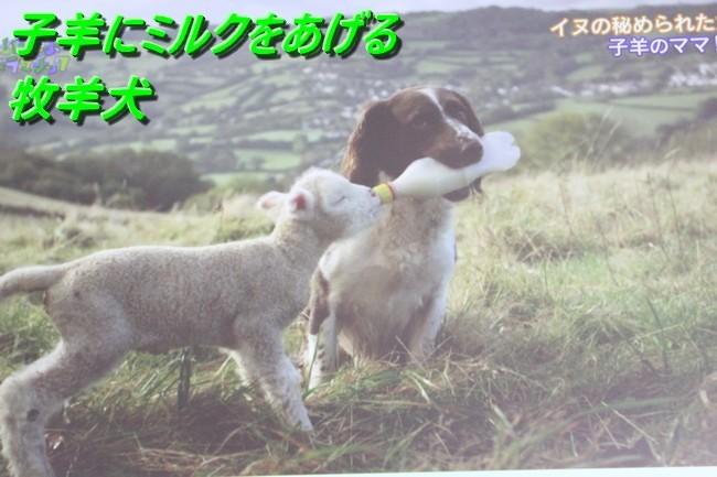 IMG_3296仔山羊に授乳