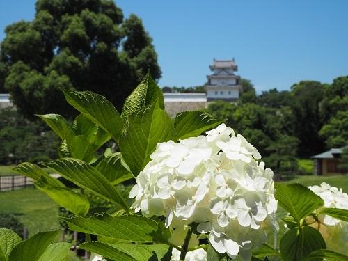 10白い紫陽花