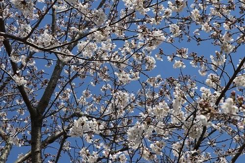 14桜と青空