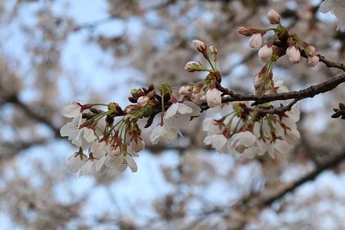15桜開花状況