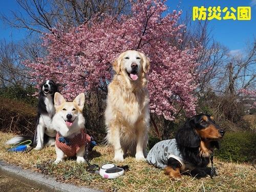 35防災の桜