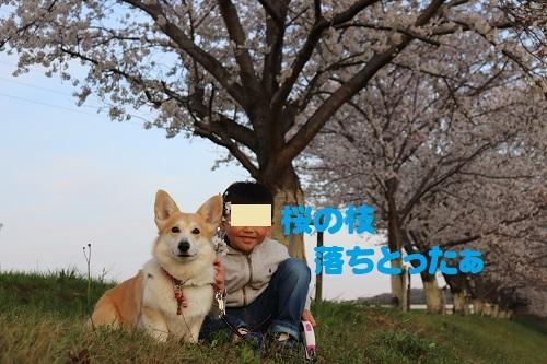 18桜の枝