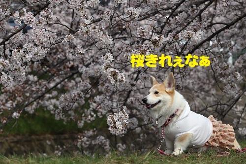 4桜きれぇ