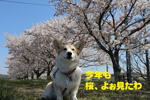 7桜よぉみた