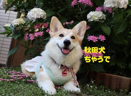 45秋田犬