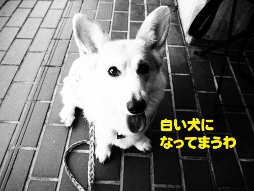 16白い犬に