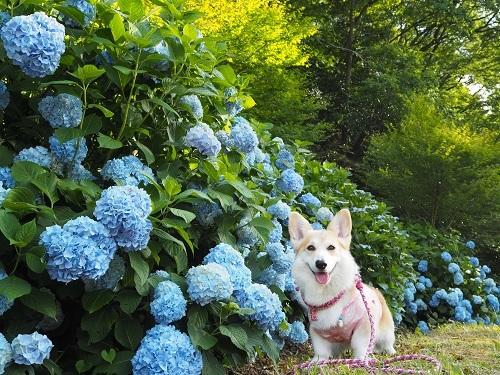 31紫陽花と