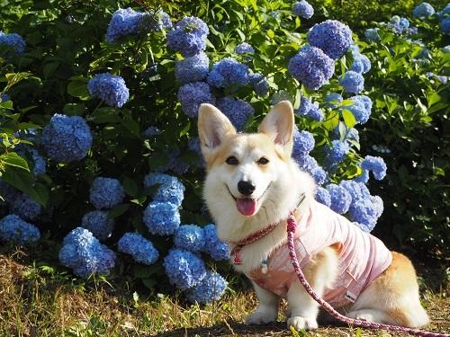 32紫陽花と2
