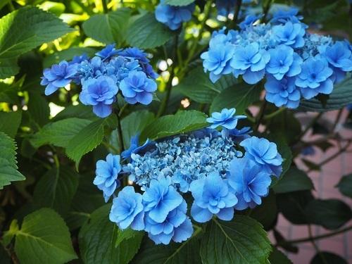 6きれいな紫陽花