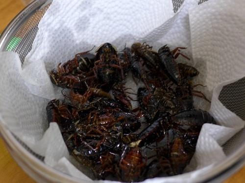 サツマゴキブリ (1)