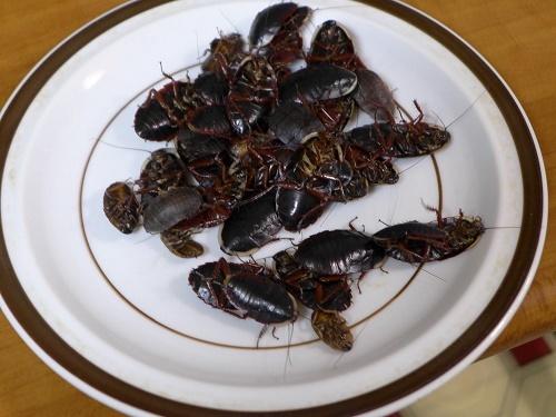 サツマゴキブリ (4)