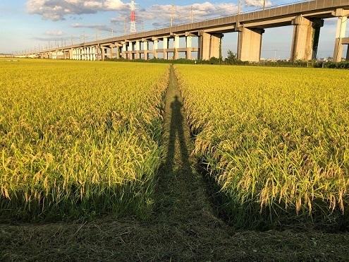 稲刈り2020-2