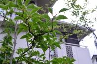 アオハダと野鳥 ④ 初夏に色付き始める