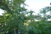 アオハダと野鳥 ③ 初夏に色付き始める 2020 08 17