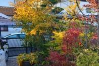 アオハダと野鳥 ⑤ 紅葉のピーク  2020 11 11