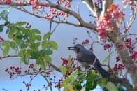 アオハダと野鳥 ⑧ 実を食すヒヨドリ  2020 11 28