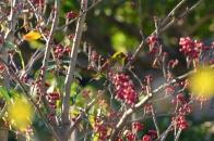 アオハダと野鳥 ⑩ メジロ  2020 12 01