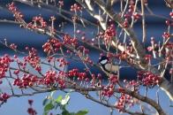 アオハダと野鳥 ⑫ シジュウカラ  2020 12 01