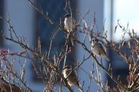 アオハダと野鳥 ⑬ すずめ  2020 12 01