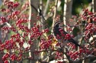 アオハダと野鳥 15 警戒するツグミ  2020 12 07