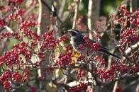 アオハダと野鳥 16 実を食するツグミ  2020 12 07