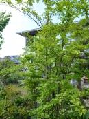 アオハダと野鳥 1 新緑のアオハダ