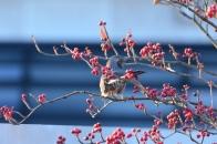 アオハダと野鳥 7 ヒヨドリ
