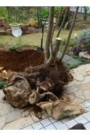 斑入りアオハダ ① 山採りアオハダの根  2020 11 27