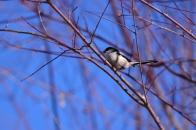 冬の野鳥 ② エナガ 明野村  2021 01 01